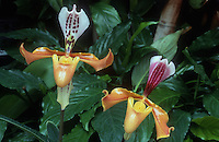 Paphiopedilum gratrixianum, orchid species, two different plants in flower showing variety