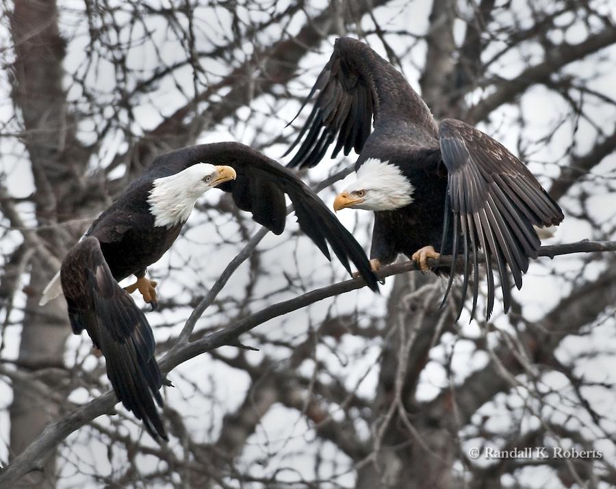 Bald eagles spar in the trees above Chilkat River, Chilkat Bald Eagle Preserve, Haines, Alaska