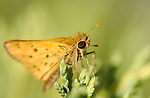 Fiery Skipper, Hylephila phyleus, Southern California