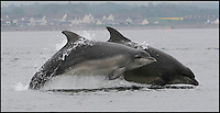 BNPS.co.uk (01202 558833)<br /> Pic: AlistarKemp/BNPS<br /> <br /> ***Please Use Full Byline***<br /> <br /> Smile please...<br /> <br /> The bottlenose dolphin is well known for being a friendly creature, but this is the moment an entire pod showed another side to their playful nature.<br /> <br /> The clever animals had been laying in wait for the annual 'Salmon Run', where they could be guaranteed a tasty snack as hundreds of fish made the upstream struggle.<br /> <br /> As schools swam from the sea back to freshwater to spawn, a group of dolphins showed off their predatory skills and began to hunt them.<br /> <br /> They performed incredible acrobatic skills as they shot into the air and sometimes two or three would attempt to go after the same fish.<br /> <br /> The pod of 20 dolphins were spotted hunting their supper at Chononry Point near Fortose on the Moray Firth in Scotland.<br /> <br /> There is believed to be around 300 bottlenose dolphins - Tursiops truncatus in Latin - in the area, which is the most northern colony in the world.<br /> <br /> Amateur photographer Alister Kemp, 47, was watching from the shore and managed to captured a series of stunning shots.