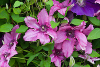Clematis 'Barbara', vivid purplish-pink flowers perennial flowering vine