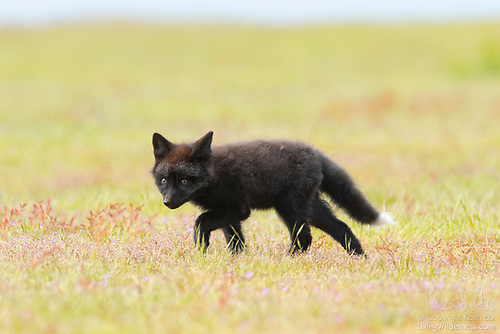Red Fox Kit, San Juan Island, Washington