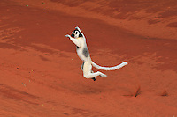 .Verreaux's Sifaka (Propithecus verreauxi), adult jumping, Berenty Private Reserve, Madagascar