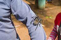 An Edible Tarantula (Haplopelma albostriatum) on display to tourists. (Cambodia)