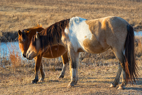 Assateague Horses, Chincoteague Ponies, Assateague Island, Virginia
