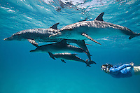 RW4431-D. Atlantic Spotted Dolphins (Stenella frontalis), resident pods of wild dolphins in the Bahamas offer eco-tourists from around the world a superb encounter swimming with the playful marine mammals. Bahamas, Atlantic Ocean.<br /> Photo Copyright &copy; Brandon Cole. All rights reserved worldwide.  www.brandoncole.com
