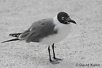 0711-0806  Immature Franklin's Gull, Larus pipixcan © David Kuhn/Dwight Kuhn Photography
