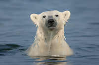 Polar bear, Ursus maritimus, trying to stay cool in the summer sun near Churchill, Hudson Bay, Manitoba, Canada, Canadian Arctic