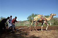 Traditional farming methods in the mountains of Jabal Arus near Ibb, an area where many men have migrated abroad. For centuries men have been leaving this poor, rural and mountainous area to seek work elsewhere.