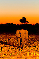Elephant at a watering hole at sunset, Etosha National Park, Namibia