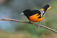 Smaller and more slender than an American Robin, Baltimore Orioles are medium-sized, sturdy-bodied songbirds with thick necks and long legs. Look for their long, thick-based, pointed bills, a hallmark of the blackbird family they belong to.