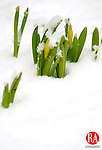 WINSTED, CT, 21 MARCH 2011-032111JS01--Even though more than an inch of snow fell in the Northwest Corner on Monday morning, these crocus plants in Winsted will survive. The crocus, one of first flowers in Spring, will emerge even if the cold and freezing temperatures could still occur. <br /> Jim Shannon/Republican-American