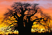 African Baobab Tree (Adansonia digitata) silhouetted at sunset, Tarangire National Park, Tanzania, Africa.