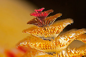 Christmas Tree Worm filter feeding at night (Spirobranchus giganteus), Yap, Micronesia.