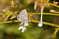 320450001 a wild male ceraunus blue butterfly hemiargus ceraunus perches on a flower stalk at  the naba site in mission hidalgo county lower rio grande valley texas united states
