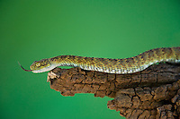 489040016 a captive broadleys bush viper atheris broadleyi sits coiled on a tree limb species is native to africa