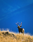 WILDLIFE / Mule Deer Photography