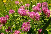 Alpine clover. Alpine summer meadow.  Bernese Alps Switzerland.