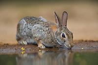 673280054 a wild desert cottontail rabbit sylvilagus audubonii drinks at a waterhole on santa clara ranch in starr county rio grande valley texas united states
