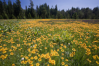 Summer wildflowers yellow flower Bigelow's Sneezeweed (Helenium bigelovii) in wet meadow in Sierra mountains at Big Meadows, El Dorado National Forest, California