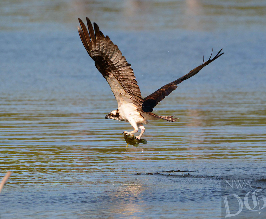 Courtesy photo/TERRY STANFILL<br /> CATCH OF THE DAY<br /> An osprey catches a fish at Swepco Lake near Gentry. Terry Stanfill of the Decatur area took the picture on April 24.