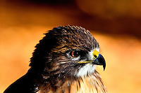 This Rough-legged Hawk (Buteo lagopus), is one of many injured and orphaned raptors living at the Carolina Raptor Center in Huntersville, NC (Mecklenburg County). Through its mission of environmental stewardship and conservation, the Carolina Raptor Center helps birds of prey through rehabilitation, research and public education. The center is located at 6000 Sample Road, Huntersville, NC.