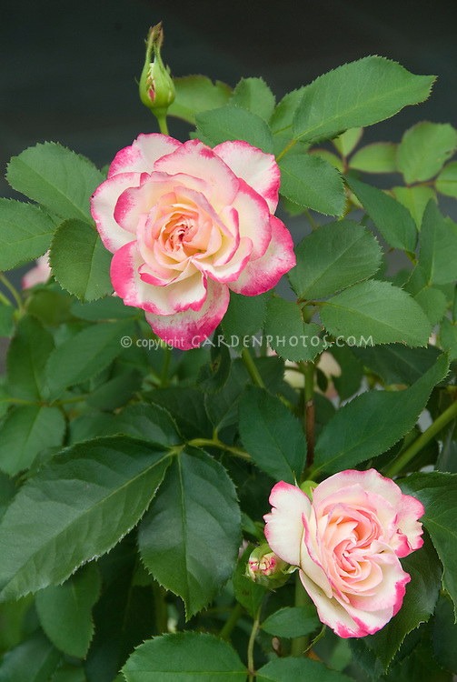 Rosa N-Joy picotee pink with creamy white petals, bicolor roses