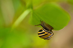 Snail climbing in lilac bush with antenna out