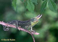 "1106-07mm  Jackson chameleon ""Hunting for Prey"" - Chamaeleo jacksonii - © David Kuhn/Dwight Kuhn Photography"