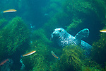 Coronado Islands, Baja California, Mexico; a single Harbor Seal (Phoca vitulina) sits amongst the kelp on the sea floor , Copyright © Matthew Meier, matthewmeierphoto.com All Rights Reserved
