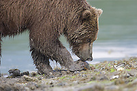 Close-up view of a brown bear (Ursus arctos) foraging for food at waters edge, Katmai National Park, Alaska.
