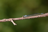 320250004 a wild female neotropical bluet enallagma novahispaniae perches on a lsmall tree branch at hornsby bend austin travis county texas