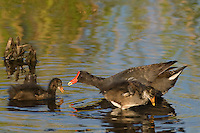 559500013 common gallinules gallinula galeata or common moorhens gallinula chloropus wild texas.Adult Feeding Chicks.Anahuac National Wildlife Refuge, Texas
