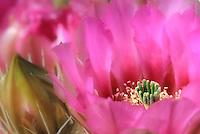 Spring Cactus Flower - Arizona