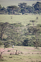 Unarmed Masai guide walking through lion country as he goes about his conservation work in the Masai Mara, Kenya, Africa (photo by Wildlife Photographer Matt Considine)