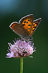Small Copper Butterfly, Lycaena phlaeus, backlight by sun, golden colours, on scabious purple flower, Provence.France....