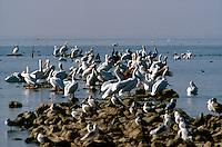 BIRDS<br /> White Pelicans<br /> Salton Sea, CA