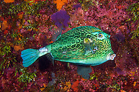 TR70880-D. Honeycomb cowfish (Acanthostracion polygonius), member of the boxfish family Ostraciidae, ranges from Florida and Bahamas through Caribbean Sea to Brazil, varies in color from blue to green to yellow, usually 7-15 inches long. Cayman Islands, Caribbean Sea.<br /> Photo Copyright &copy; Brandon Cole. All rights reserved worldwide.  www.brandoncole.com