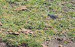 Male Plumbeous sierra finch, Phrygilus unicolor, at Antisana Ecological Reserve, Ecuador
