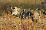 Coyote in the Grass, Tower Junction, Yellowstone National Park, Wyoming