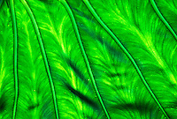 Close up of backlite taro  ir kalo leaf, the staple food of the Hawaiians