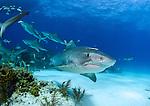 Tiger Sharks (Galeocerdo cuvier)