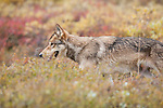 A wolf walks through the tundra brush in Denali National Park, Alaska.