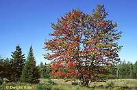 TT12-043z  Red Maple - fall foliage - Acer rubrum