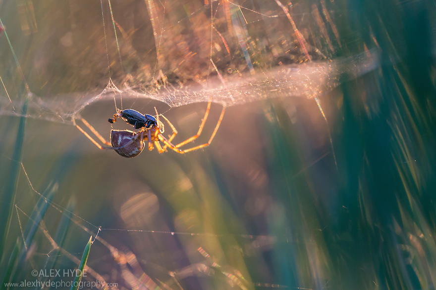 Money Spider {Linyphiidae} in its sheet web eating a beetle, backlit at sunset. Thursley Common National Nature Reserve, Surrey, UK. October.