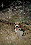 Beagle<br />