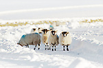 Small group of sheep  in a snowy field in Scotland