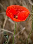 Red poppy in the Rose Valley, Zagora Plains near Kazanlak, Bulgaria