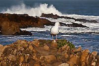 A Western gull casts a backward glance, as if to check that it's not about to be soaked by the Pacific waves crashing against the rocks in the background.