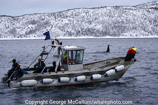 Killer whale Orcinus orca Diving tender with snorkellers approaching adult male, Vestfjord, Arctic Norway, North Atlantic